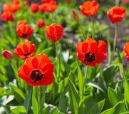 Красочный цветок тюльпана, цветок тюльпана и предпосылка листьев зеленого цвета с солнечным светом Стоковая Фотография