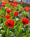 Красочный цветок тюльпана, цветок тюльпана и предпосылка листьев зеленого цвета с солнечным светом Стоковые Изображения