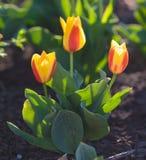 Красочный цветок тюльпана, цветок тюльпана и предпосылка листьев зеленого цвета с солнечным светом Стоковые Фотографии RF