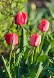 Красочный цветок тюльпана, цветок тюльпана и предпосылка листьев зеленого цвета с солнечным светом Стоковое Изображение