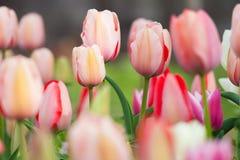 Красочный цветок тюльпана, цветок тюльпана и листья зеленого цвета Стоковые Изображения