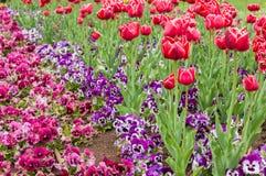 Красочный цветок тюльпана, цветок тюльпана и предпосылка листьев зеленого цвета Стоковое фото RF