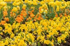 Красочный цветок тюльпана, цветок тюльпана и предпосылка листьев зеленого цвета Стоковые Изображения