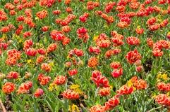 Красочный цветок тюльпана, цветок тюльпана и предпосылка листьев зеленого цвета Стоковое Изображение RF