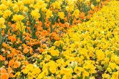 Красочный цветок тюльпана, цветок тюльпана и предпосылка листьев зеленого цвета Стоковая Фотография