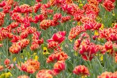 Красочный цветок тюльпана, цветок тюльпана и предпосылка листьев зеленого цвета Стоковые Фото