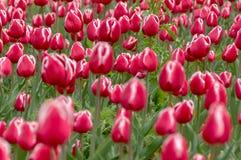 Красочный цветок тюльпана, цветок тюльпана и предпосылка листьев зеленого цвета Стоковая Фотография RF