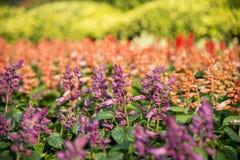 Красочный цветок шарлаха salvia в саде Стоковая Фотография RF