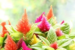 Красочный цветок cockscomb в мягком настроении Стоковое фото RF