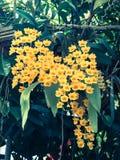 Красочный цветок lindleyi Dendrobium желтого цвета вида орхидеи: Filte Стоковая Фотография