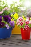 Красочный цветок pansy засаживает солнце Стоковое Изображение RF