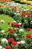 Красочный цветочный сад в Градусе Фаренгейта Luang Mae, Chiang Rai, Таиланде Стоковое фото RF