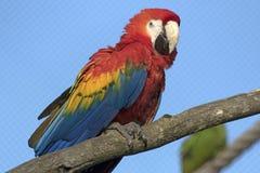 Красочный ara на ветви Стоковые Изображения