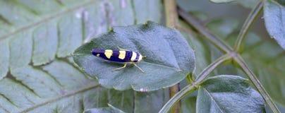 Красочный leafhopper на зеленых лист Стоковое фото RF