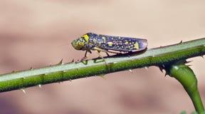 Красочный leafhopper на зеленых лист Стоковое Изображение