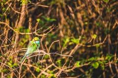 Красочный Merops Orientalis пчел-едока садился на насест на ветви в th Стоковая Фотография RF