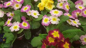 Красочный Primula цветков Стоковые Изображения