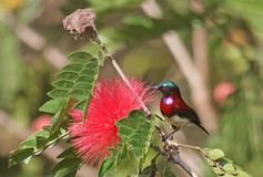Красочным Sunbird подпертое кармазином стоковое изображение