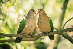 2 красочных голубя отдыхая снаружи на ветви Стоковое Фото