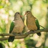 2 красочных голубя отдыхая снаружи на ветви Стоковые Фото