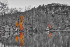 2 красочных дерева в черно-белом лесе Стоковая Фотография