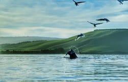 Красть птиц рыбной ловли уплотнения Стоковые Изображения
