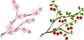 Крася зацветая вишня разветвляет и разветвляет с плодоовощами Стоковое Фото