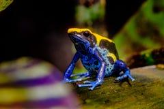 Крася лягушка дротика, желтый цвет, черная синь Стоковые Фото