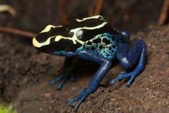 Крася лягушка дротика отравы сидя на грязи Стоковая Фотография