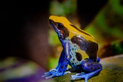 Крася лягушка дротика Стоковое Фото