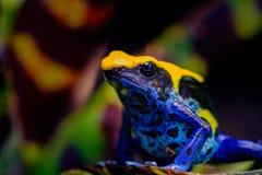 Крася лягушка дротика, tinc прозвище Стоковое фото RF