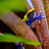 Крася лягушка дротика, tinc Стоковые Фотографии RF