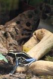 Крася лягушка дротика Стоковое фото RF