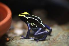Крася лягушка дротика (tinctorius Dendrobates) Стоковые Изображения RF