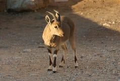 Кратер Рэймона козы Ibex Nubian в Израиле Стоковое фото RF