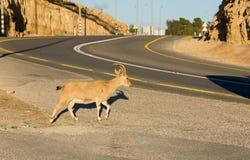 Кратер Рэймона козы Ibex Nubian в Израиле Стоковые Изображения RF