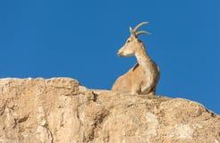Кратер Рэймона козы Ibex Nubian в Израиле Стоковые Изображения