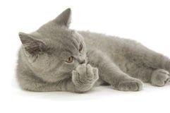 краткость великобританского кота серая с волосами Стоковые Фотографии RF