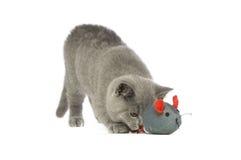 краткость великобританского кота серая с волосами Стоковое Фото