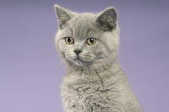 краткость великобританского кота серая с волосами Стоковое Изображение RF