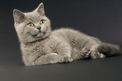 краткость великобританского кота серая с волосами Стоковые Изображения