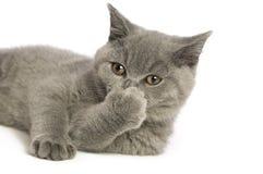 краткость великобританского кота серая с волосами Стоковые Изображения RF