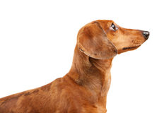 краткость собаки dachshund с волосами Стоковое Фото