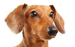 краткость собаки dachshund с волосами Стоковые Фото