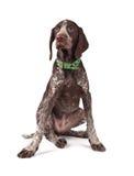 краткость указателя звероловства собаки немецкая с волосами Стоковое Фото