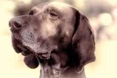 краткость указателя собаки немецкая с волосами Родословная конца-вверх выдающийся стоковое фото
