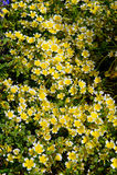 Краденные цветки douglasii Limnanthes завода яичка Стоковое Изображение