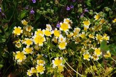 Краденные цветки douglasii Limnanthes завода яичка Стоковое фото RF