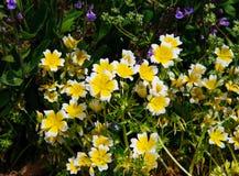 Краденные цветки douglasii Limnanthes завода яичка Стоковая Фотография