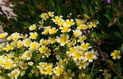 Краденные цветки douglasii Limnanthes завода яичка Стоковая Фотография RF